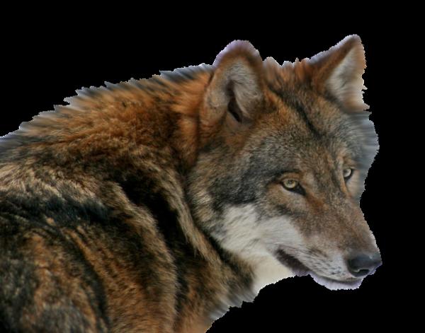 Je suis un Loup.