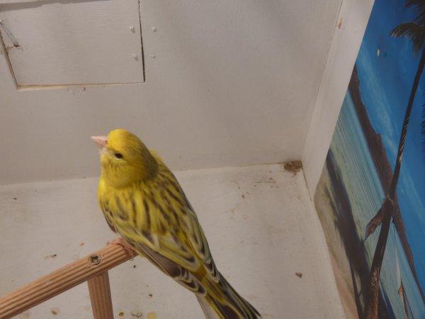 agate topaze jaune schimmel male