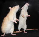 Photo de Fasake-au-pays-des-rats