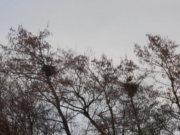 la faune d'ici: les cigognes