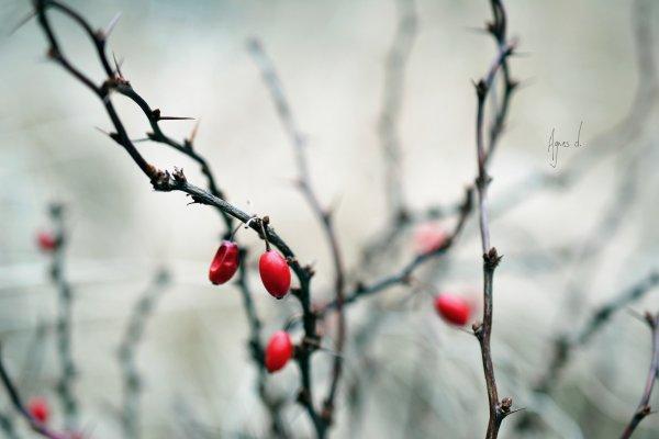 Poison hivernal