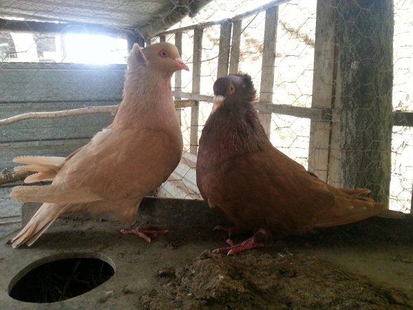 Mon couple de pigeons sotobanca