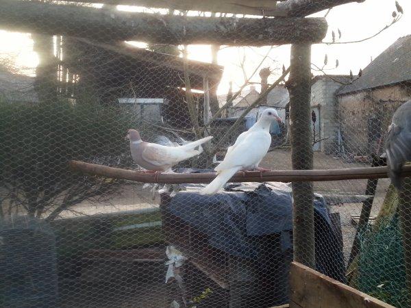 Mon couple de colombe / tourterelle