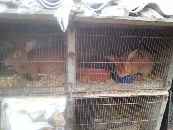 Mon couple de lapins fauve de Bourgogne