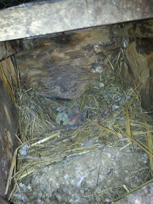 Bebeb colombe x tourterelle
