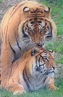 Naissance :Le cycle de la Vie chez les tigre ...