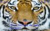 Trois fois plus de Tigre en 2022 !