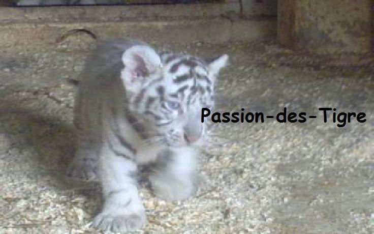 Ta la passion des Tigres ? Eh bien tu a trouvé ton blog =)