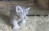Passion-des-Tigre