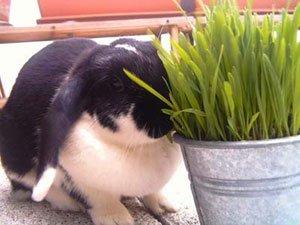 Avoine ou herbe à chat