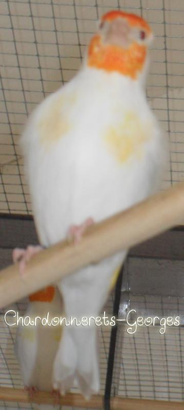 Màle IsabelleSatiné tête blanche