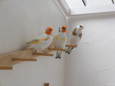 Trois oiseaux de 2013 ( Satiné,Eumo et Panaché )