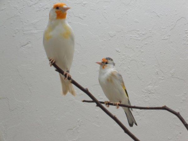 Une femelle Satinée Tête Blanche 2013 et Femelle Panachée 2012