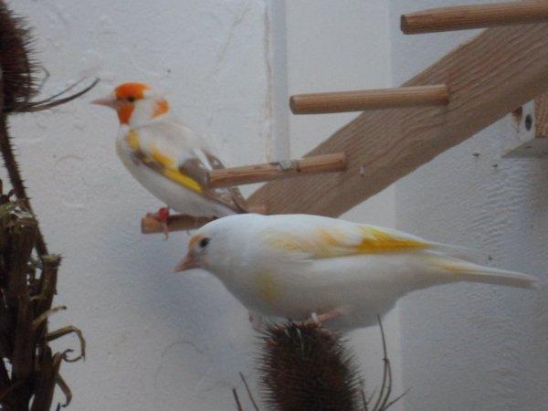 Mâles blanc et Isabelle TB porteur IsabelleSatinée
