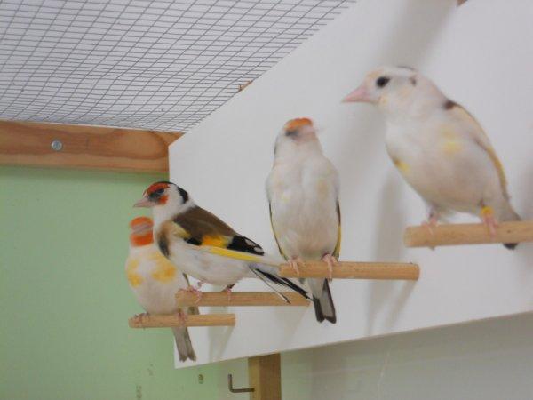 4 femelles qui ont commencés la mue.