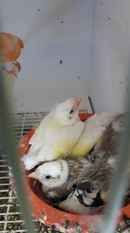 2 blancs,  1 Tête d'Aigle panaché.