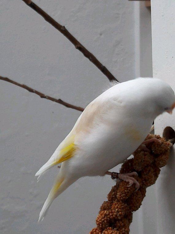 Mâle brunpastel 2018 avec sa futur femelle Brunepastel panachée 2018