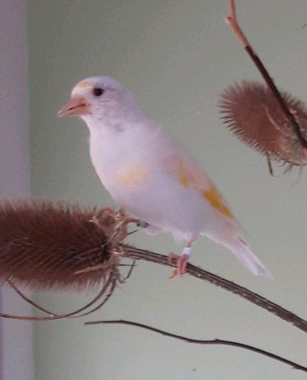 Chardonneret gorge blanche et blanc aux yeux noir