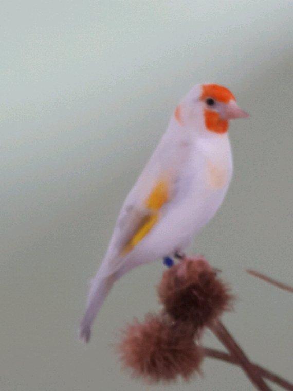 Mâle Agathe Opale 2018 et femelle opale tête blanche 2019