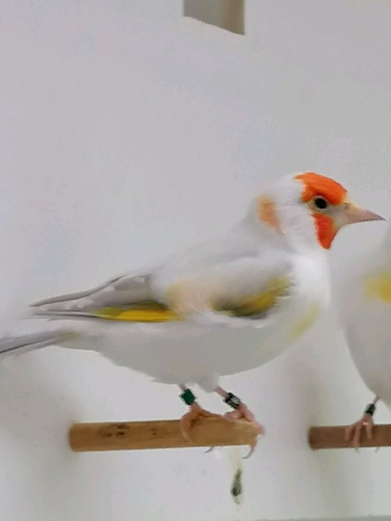 Femelle Agathe Opale tête blanche 2020