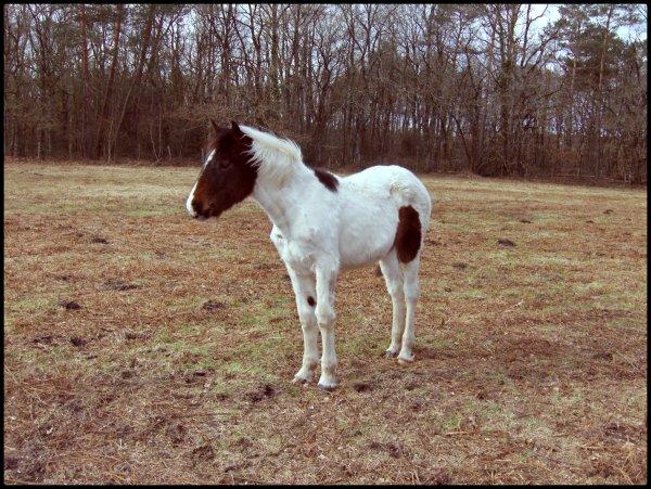 """Tout a commencer lorsque j'étais à la recherche d'un cheval formidable pour moi, ce n'étais pas chose facile car c'étais mon premier achat dans un cheval. Mais je n'ai pas abandonné alors j'ai chercher, chercher, chercher, et la je suis tombé sur l'annonce d'un élevage privé. Un élevage de chevaux de couleurs. Ensuite j'ai lu l'article d'une petite pouliche à vendre alors j'ai appellé l'élevage et c'est à partir de ce moment la que tout à commencer ... •••••••••••••••••••••••••••••••••••••••••••••••••••• Un jour en compagnie de mes parents ont est aller la voir, elle se trouver à 200 km de chez moi. En arrivant la-bas j'a pu faire connaissance avec l'éleveuse, alors on est rentré dans le prés et elle étais la en compagnie de sa mère et plus loin de son père. Elle ma semblais timide est innocente, un peut comme moi d'ailleur et je savais que nous étions faite l'une pour l'autre. Le coup de coeur c'est donc appronfondi, a la fin de cette première journée en sa présence je suis reparti, triste de la laisser la-bas ... •••••••••••••••••••••••••••••••••••••••••••••••••••• Et c'est avec elle que maintenant je peut vivre mon rêve ... ♥ """"Tu est à mes côter et plus rien ne pourra nous séparer"""""""