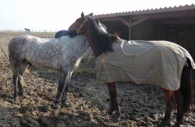 On a beau me dire que c'est JUSTE un cheval, que c'est JUSTE un etre indifferent, que c'est JUSTE un animal  !  C'est pourtant JUSTE l'etre qui est cher a mon coeur , c'est JUSTE elle qui est la a chaque instand, c'est JUSTE elle qui seche mes larmes, c'est JUSTE elle qui ne me juge jamais, c'est jUSTE elle qui ne trahi pas ce que je lui confit . Donc excuser moi si JUSTE ce cheval passe avant vous qui etes si egoiste pour pensez qu'a vous alors qu'elle ne pebse qu'a me faire plaisir , donc j'essayerais a jamais de lui rendre ce que je peux !