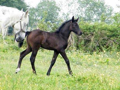 La vue de ce petit cheval m'impressionna d'une manière que je ne puis très bien expliquer. Il était plus qu'exceptionnellement fort, rapide et superbe dans sa façon de se mouvoir, il me faisait rêver.