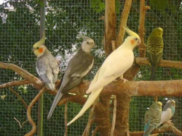 perruches calopsites