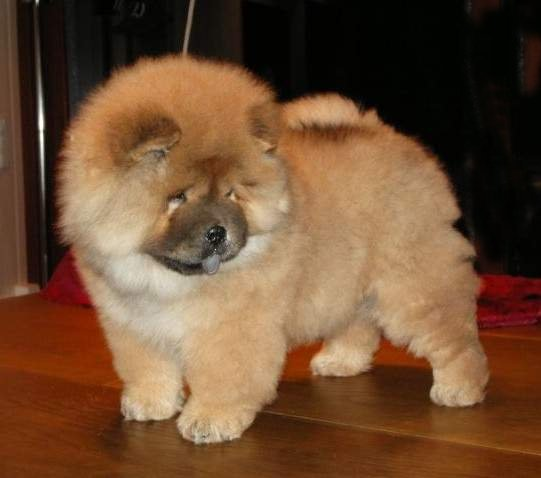 bb chow chow