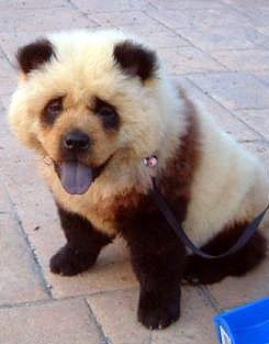 chow chow ou panda?