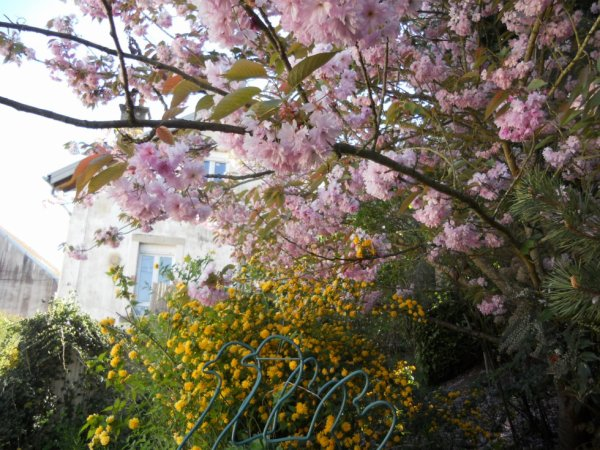 cerisier décoratif