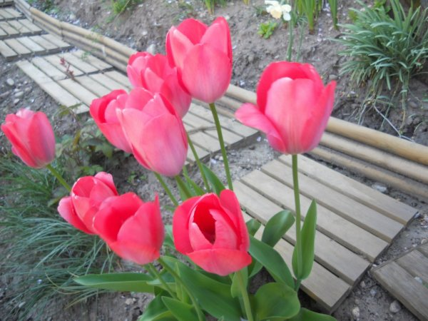 quelques tulipes