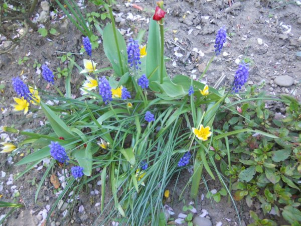 muscaris et tulipes botaniques