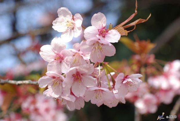 les cerisiers au japon <3