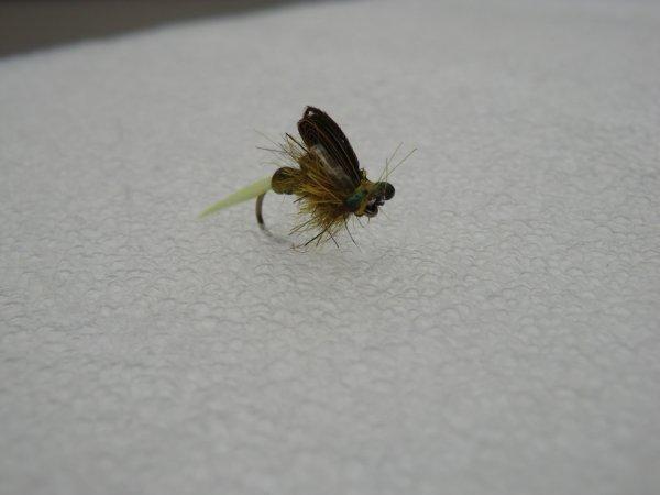 Pleco nymphe (nymphe de plécoptère)