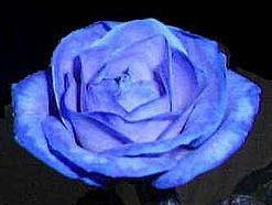 la fleure **bleu