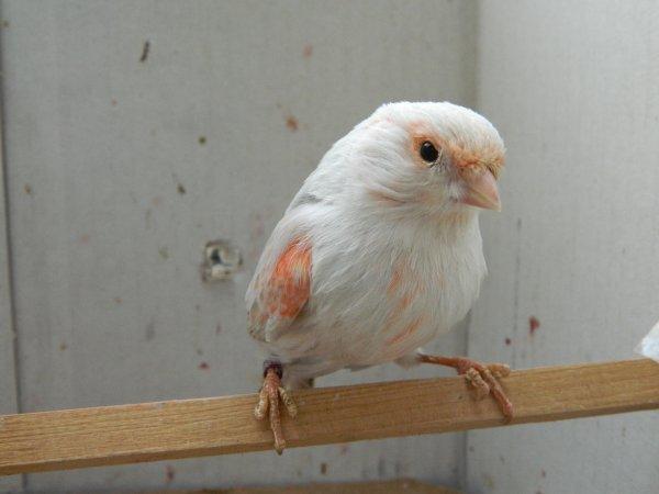 femelle opale...femea opala