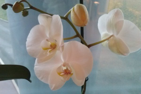orchidée....orquídea