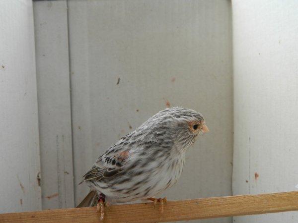 femelle agate rouge....femea agata vermelha