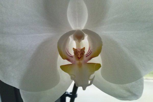 orchidee....orquidea