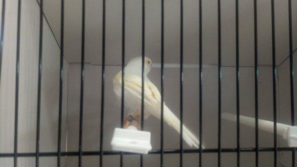 Lipo jaune mosaïque femelle