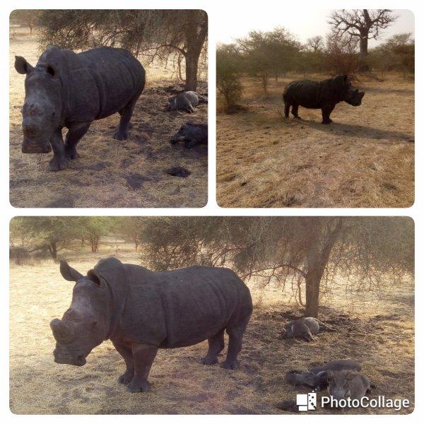 Rhino ..Saly