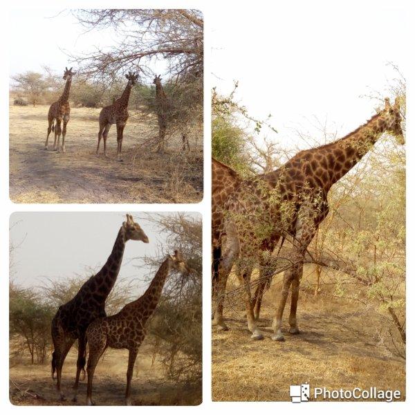 Girafes..saly