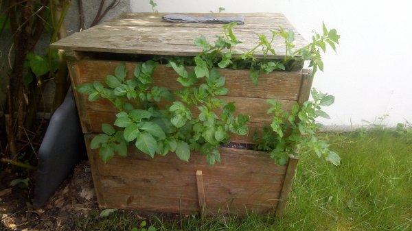 Patates dans compost...hihi