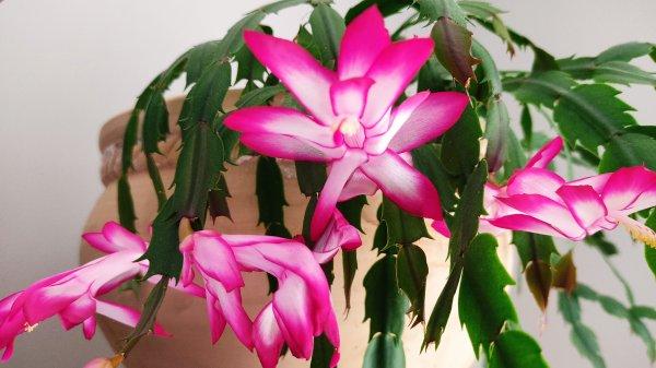 Cactus de Noël.........en avril mdr