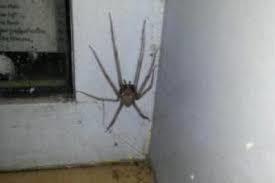 L'inquiétante apparition d'araignées géantes en Belgique !