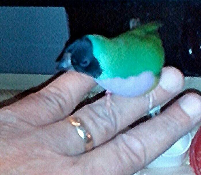 Passion  becs droits oiseaux exotiques