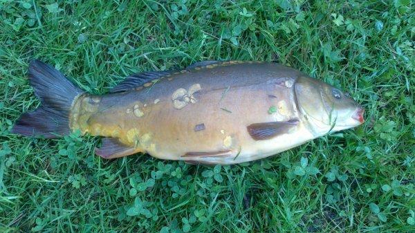 petit carpe en pêche  anglaise