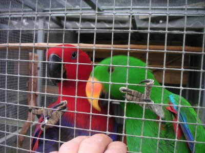 mes eclectus....