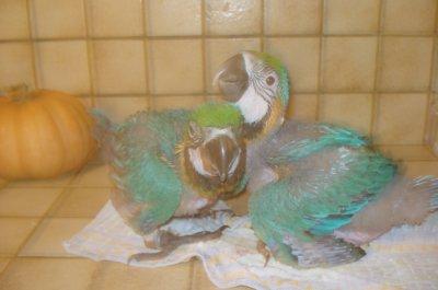 araraunas nés le 8 et 10 août 2011 mâle et femelle testés par adn